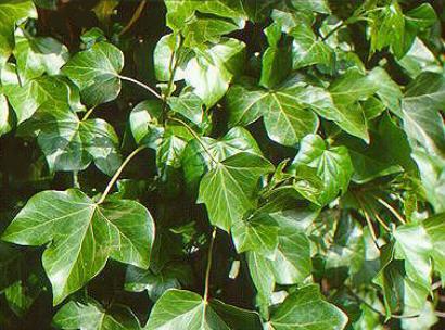 Pflanzenportraits for Plante grimpante ombre feuillage persistant